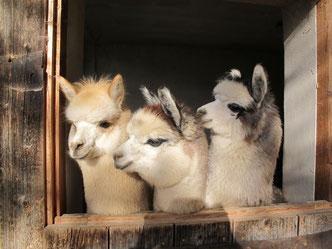 Drei Alpakas blicken aus dem Stallfenster