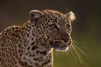 Wildlife Fotografie, Afrika, Leoparden, Tiere, Uwe Skrzypczak,