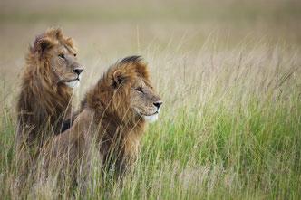 Wildlife Fotografie, Afrika, Löwen, Tiere, Uwe Skrzypczak,
