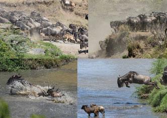 Migration, Wildlife Fotografie, Fotosafari, Wildlife Fotografie, Kenia, Masai Mara, Uwe Skrzypczak
