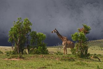 Wildlife Fotografie, Afrika, Giraffen, Tiere, Uwe Skrzypczak,