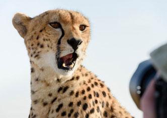Geparden, Fotosafari, Wildlife Fotografie, Kenia, Masai Mara, Uwe Skrzypczak