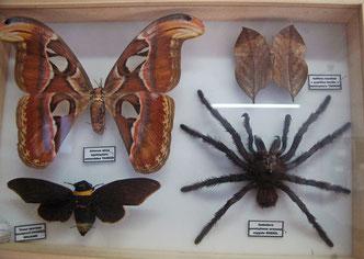 des insectes exotiques