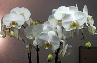 phalaenopsis, belle et facile à cultiver