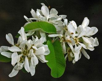 fleurs d'amélanchier (photo s&m)