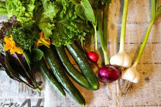 夏野菜 収穫