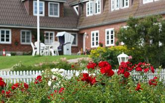 Rosen blühen üppig vor dem Friesenhof