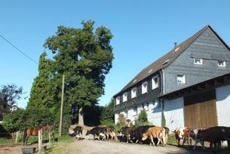 Kühe gehen auf die Wiese