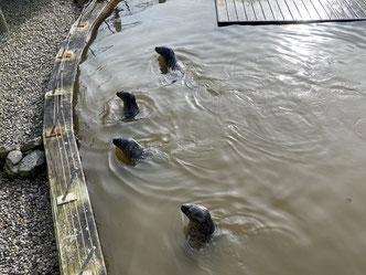 Robben im Becken vom Westküstenpark Stankt Peter-Ording