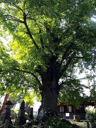 樹齢650年以上のイチョウ。近くの諏訪神社には龍の尾があったところに植えたイチョウがあったが、落雷で枯れたという