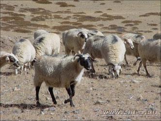 40 Стада овец.