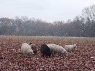 Wenn die Wolle dick genug ist, wird´s den Schafen zu warm...