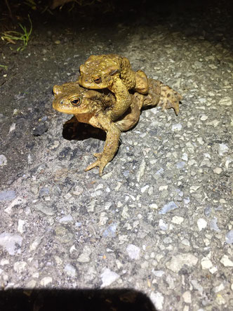 Erdkrötenpaar im Amplexus   Foto: Tanja Burggraf-Kühl