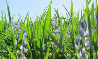 Les cultures en mélange céréales - protéagineux : coeur du projet PROGRAILIVE