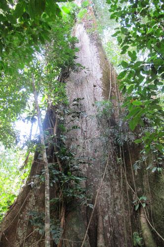 Stolze 90 Meter soll der Baum hoch sein