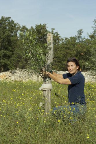 Olivenbaumpflege- Mit viel Sorgfalt