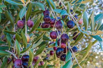 Koroneiki Oliven