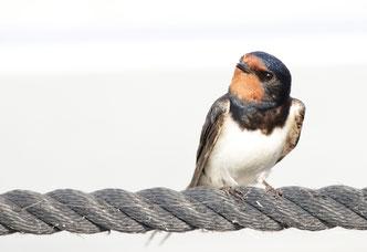 Rauchschwalben sind an der roten Kehle und den langen Schwanzfedern gut zu erkennen - Foto: O.Klose