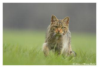 Renard et chat sauvage
