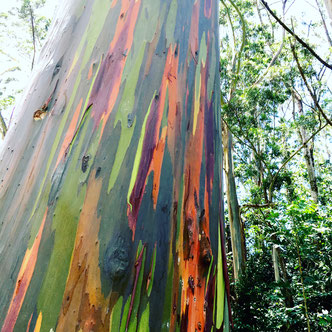 Regenbogeneukalyptus