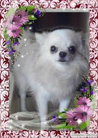 Foto de perro raza chihuahua hembra adulta, de pelo largo y color blanco, propiedad de los criadores de chihuahuas De Alba Dog en Valencia (España), venta de chihuahuas; cachorros chihuahua de pelo corto y largo con afijo y pedigree
