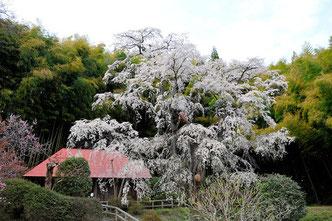 八重垣写真館さん:福島県郡山市・ 雪村庵のしだれ桜
