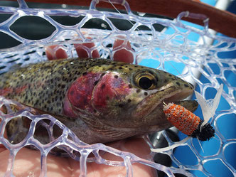 最大サイズに巻いたハルゼミパターンをひと飲み。これぞ北海道ビッグ・ドライフライの釣りの真骨頂。