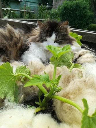 Mulchen mit Schafwolle