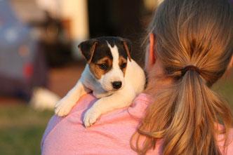 PRT jagdlich geführt PRT vom Glockenhof Welpen Zucht Zwinger PRT vom Glockenhof jagdlich geführte Parson Russell Terrier Zuchthündin Zuchtrüde