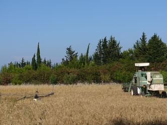 salento distesa di grano pasta fresca di produzione propria