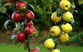 многосортовые,семейные яблони,груши купить в питомнике в Клину