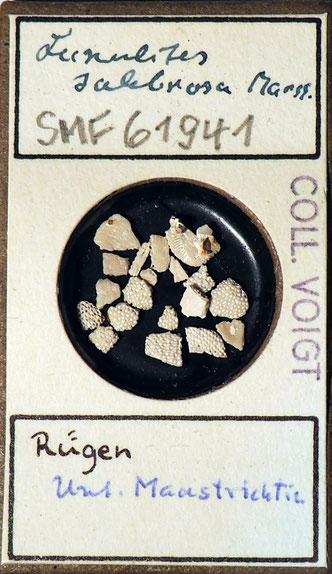 Bild 21 Bryozoa aus Sammlung Senckenberg Frankfurt