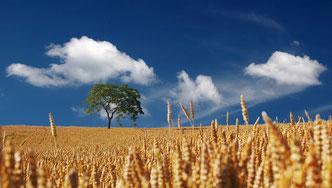 champ de blé bio à la ferme J'y Crois en Charente