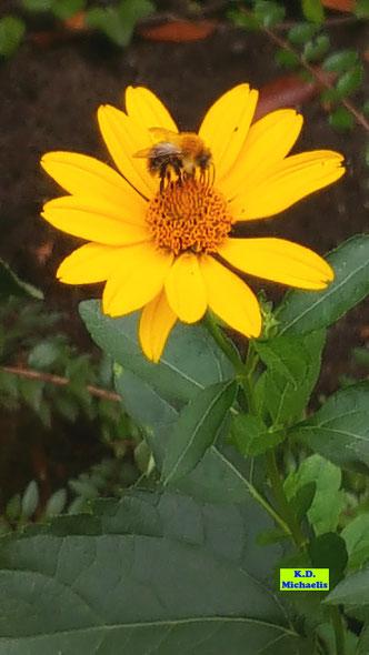 Wiesenhummel auf der gelben Blüte eines Sonnenauges von K.D. Michaelis