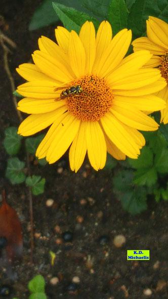 Schwebfliege auf der gelben, gefüllten Blüte eines Sonnenauges von K.D. Michaelis