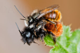Gehönrte Mauerbiene Osmia cornuta Schlupf Kokon Solitäre Wildbiene