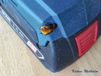 Mauerbiene Osmia Wildbiene Nistplatz wild bee mason bee solitary bee Akkuschrauber