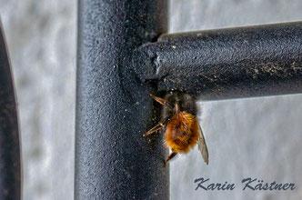 Mauerbiene Osmia Wildbiene Nistplatz wild bee mason bee solitary bee Gartenmöbel