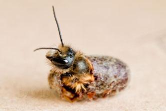 Rostrote Mauerbiene Osmia bicornis Schlupf Kokon Solitäre Wildbiene