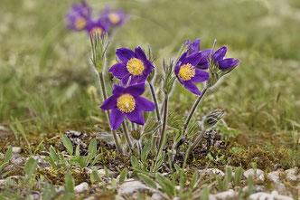 Gemeine Küchenschelle (Pulsatilla vulgaris) Garchinger Heide