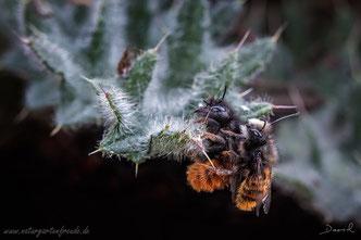 Gehörnte Mauerbiene Osmia cornuta Paarung Insektenhotel Insektennisthilfe Balkon Naturgartenbalkon solitary bee wild bee insect nesting aid insect hotel hornfaced mason bee  mating copulation