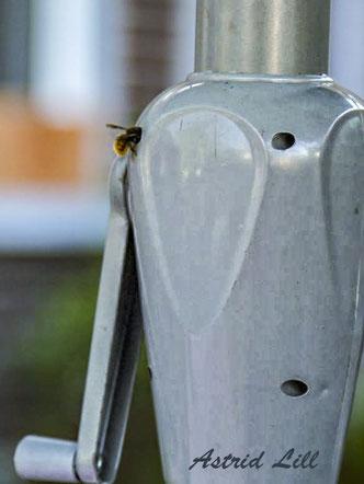 Mauerbiene Osmia Wildbiene Nistplatz wild bee mason bee solitary bee Sonnenschirm