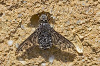 Trauerschweber Anthrax bee flies parasite wild bees solitary bees
