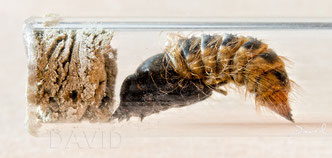 Trauerschweber Anthrax anthrax Puppe  insect nesting aid insect hotel  bee flies red mason bee parasite  chrysalis cocoon