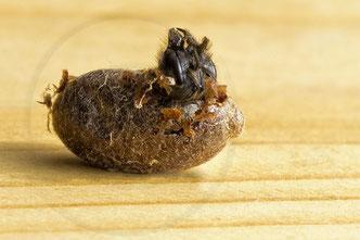 Rostrote Mauerbiene Osmia bicornis Schlupf Kokon