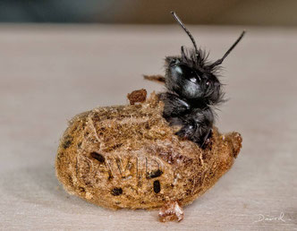 solitary bee wild bee insect nesting aid insect hotel hornfaced mason bee  hatch chrysalis cocoon Rote Mauerbiene Osmia cornuta Schlupf Kokon