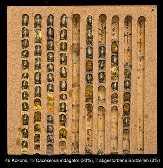 Insektenhotel Nisthilfe Insektennisthilfe zerlegbar Nutbrettchen Nistbrettchen Bienenbrettchen insect nesting aid insect hotel  wildbee milled slats red mason bee hornfaced bee bee house Brutzelle Kokon breeding cell chrysalis Cacoxenus