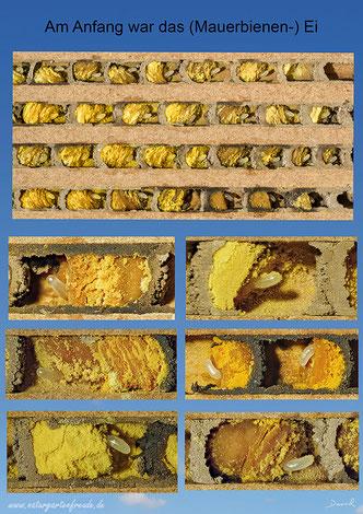 Mauerbiene Osmia bicornis Rot Rostrot Beobachtungsnistkasten Entwicklung Entwicklungszyklus Insektenhotel Ei  Nutbrettchen Nistbrettchen Bienenbrettchen