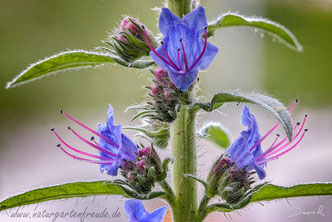 Natternkopf Echium vulgare Naturgartenbalkon viper's bugloss, blueweed wildlife garden balcony native plants balcony through
