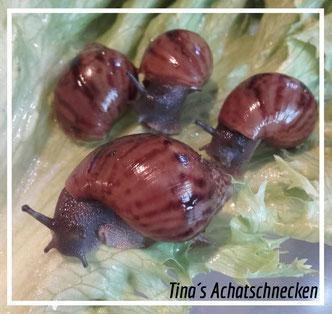 tinas-achatschnecken.de    Achatina achatina
